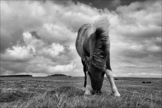 dartmoor pony bw devon england uk