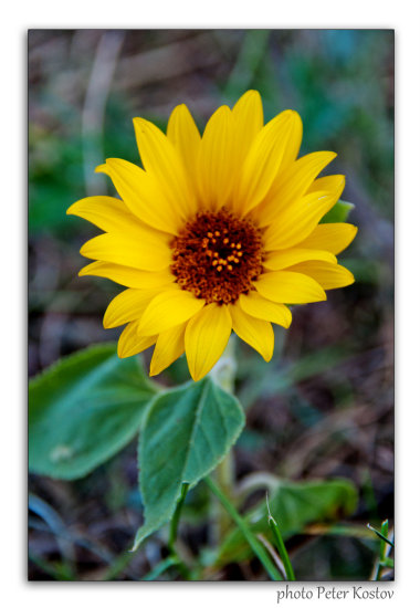 sunflower flower nature summer nikon sigma bulgaria closeup flora