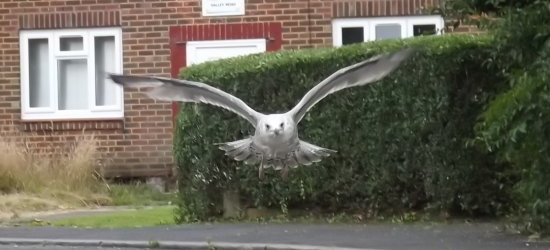 My baby seagull has come on leaps & bounds since last time I posted on here.