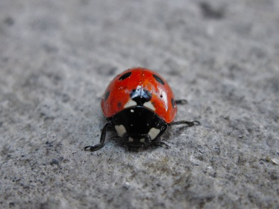 Ladybird Bug Focus Red
