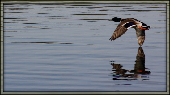 flying duck reflectionthursday saffi9 favouritefoodfriday