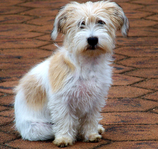Go Back > Gallery For > Jack Russell Poodle Mix