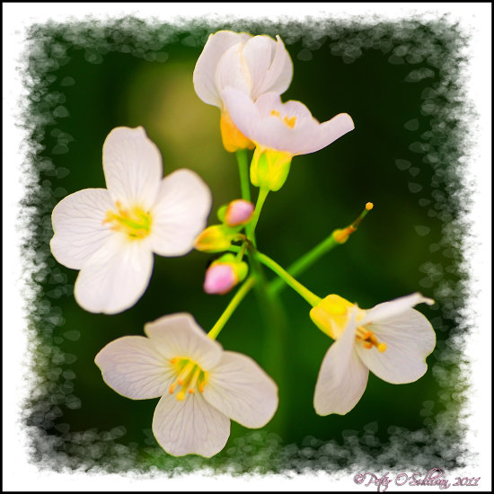 Flower Wild Cuckooflower LadysSmock Kerry Ireland Peter_OSullivan