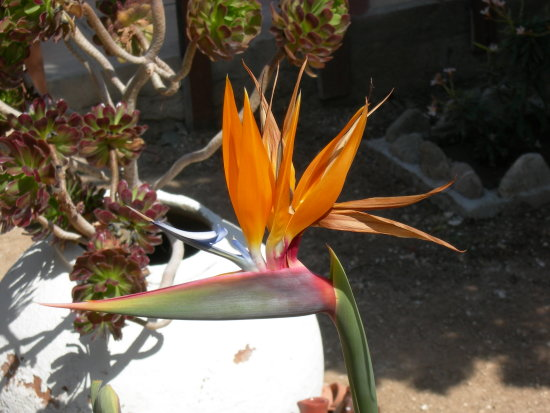 this funny looking plant made me smile. I think it's called a bird of paradise,but i'm not sure?