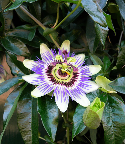 flower passionflower dokkum the netherlands