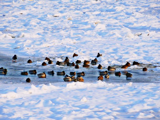 river ice ducks