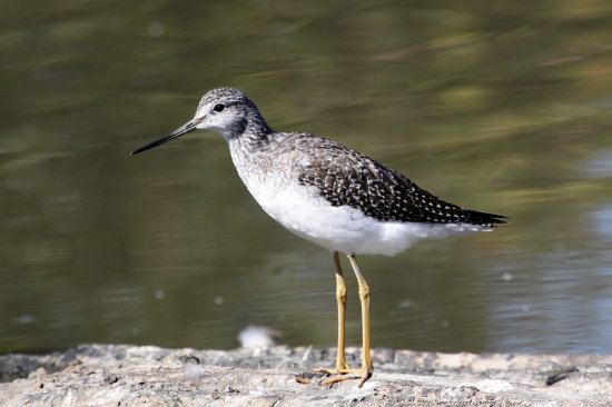 birds Reifel Sanctuary Delta BC Canada yellowlegs