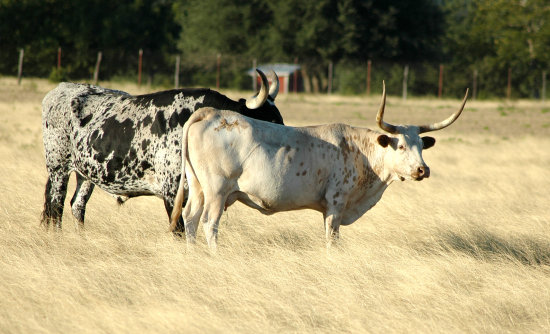 texas cattle longhorn
