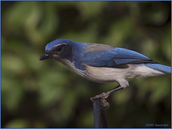birds nature scrubjay