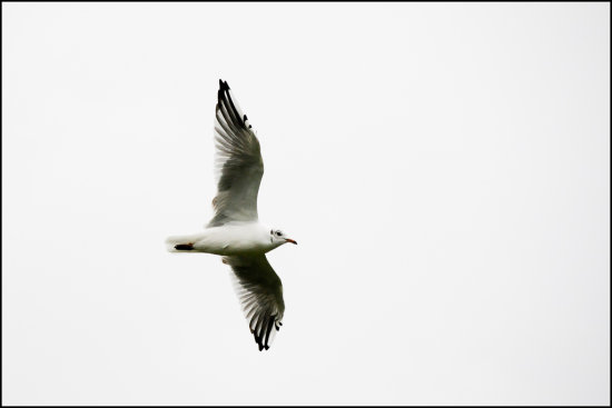 black headed gull bird birds sea water d300