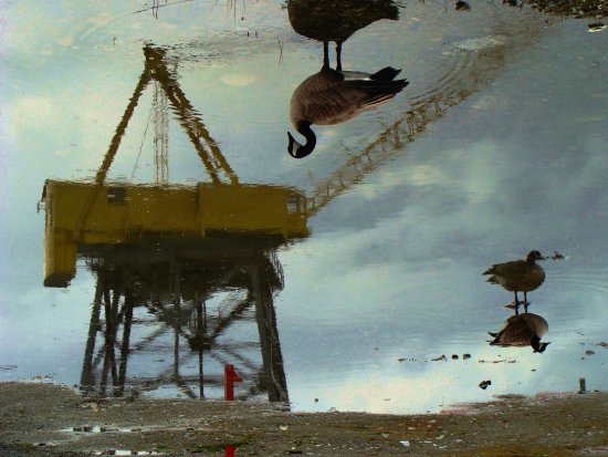 reflectionthursday canadian geese crane 2012