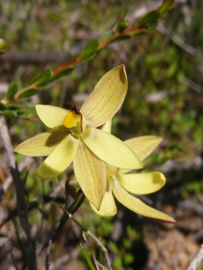 lemon scented sun orchids western australian native flowers plants nature