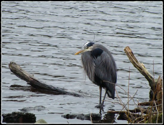 great blue heron stanley park lost lagoon vancouver bc feb 2013
