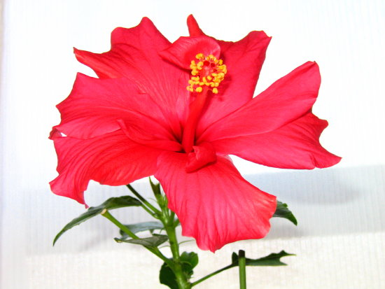 Pink hibiscus with flash