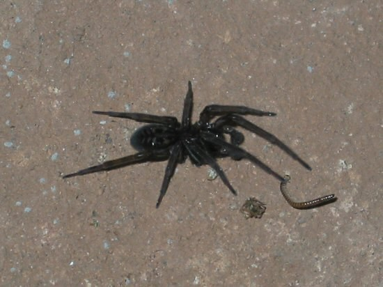 Small Black Fuzzy Spider http://wswells.com/partsphotos/fuzzy-black-spider