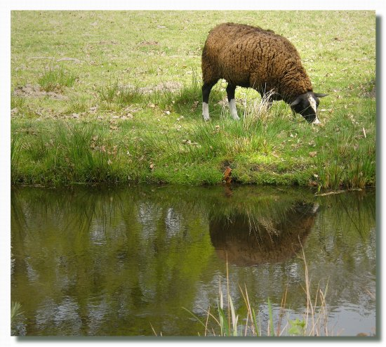 netherlands sgraveland animal sheep reflection nethx sgrax animx sheex
