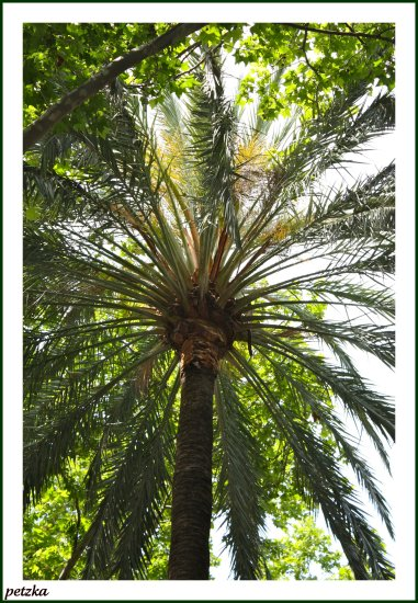 petzka palm tree malaga spain