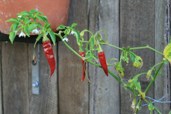 its chilli here in perth
