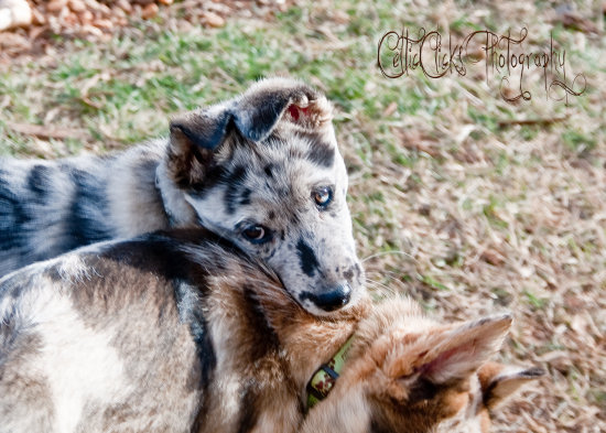Gracie and Molly australian shepherd alaskan husky puppies