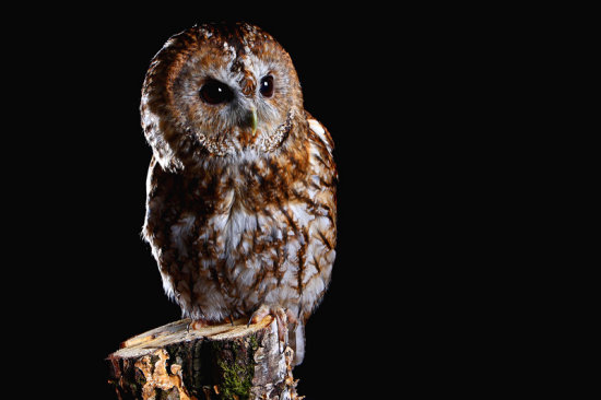 Studio Tawny owl backlight