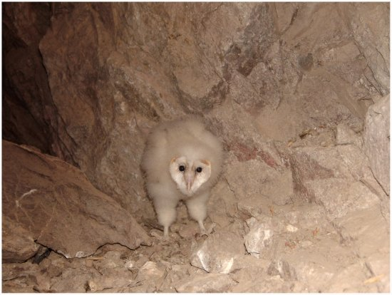 Baby Barn owl found in a mine last night. He was a little cutie.