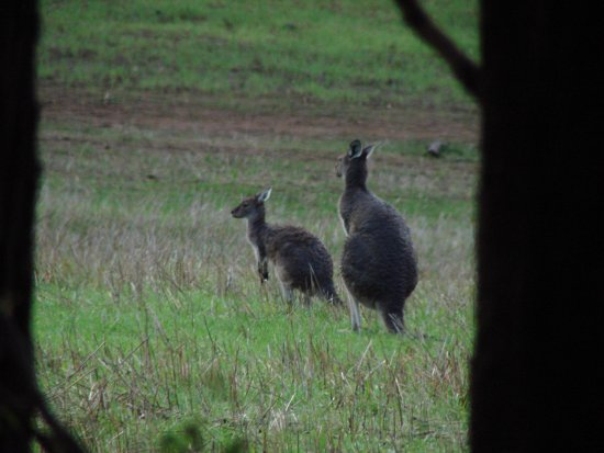 kangaroos mother son field hills perth littleollie