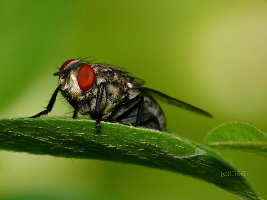 insectfriday fly nature eye jett366