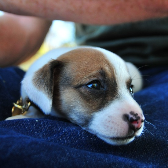 trixie boo biscut jrt jack russell terrier puppy