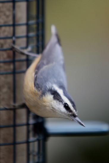 redbreasted nuthatch birds BC Canada