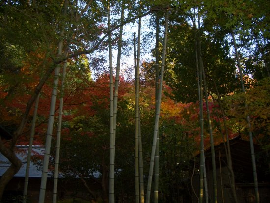 bamboos and maples
