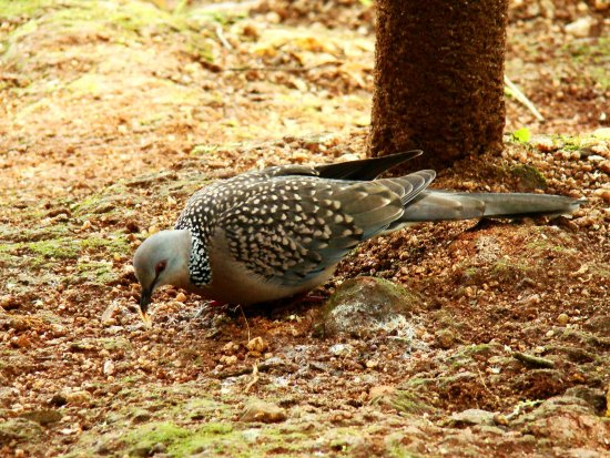 Spotted Dove Bird