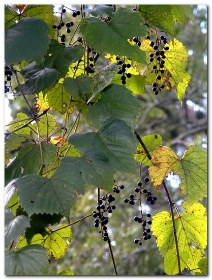 wildgrapes nature