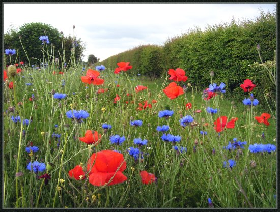 wildflowers poppies cornflowers