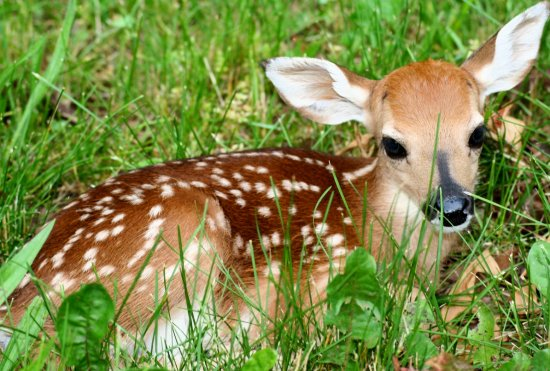 fawn deer baby white tail