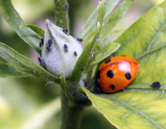 lady bug plant leaves green