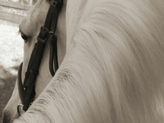 horse pony stallion animal beauty white bridle mane hair smooth