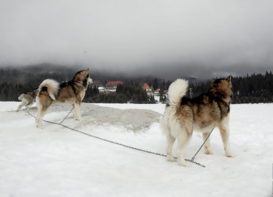 mountain snow dogs husky dogsled racing