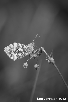 Butterfly Orange Tip Monochrome Spideylj