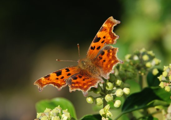 Peak District Derbyshire Comma Butterfly