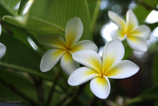 frangipani flower season autumn fall perth littleollie