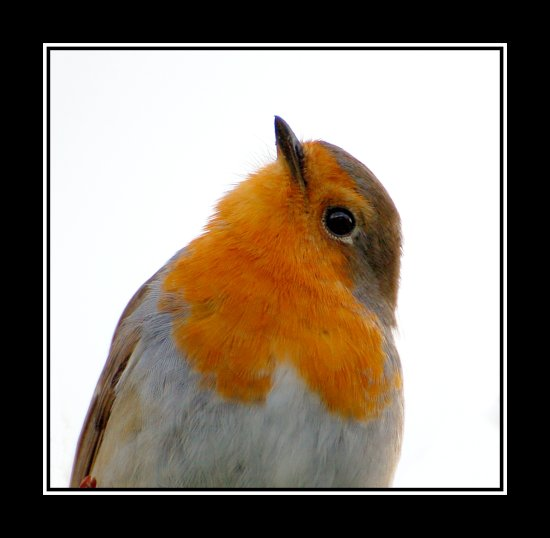 robin bird nature christmas somersetdreams