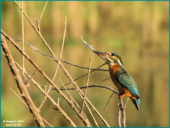 Here is Mrs. Kingfisher Or as Heather called her the Queenfisher... :-)