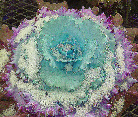 ornamental cabbage plant ice snow