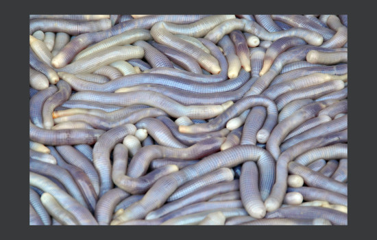 sand worms, this is thought to be a delicacy here, but i cant bring that near my mouth :-((((