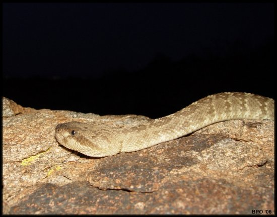 Female Blacktail rattlesnake with no rattle
