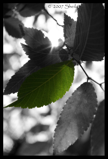 leaf green BW tree