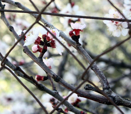 tree buds blooming