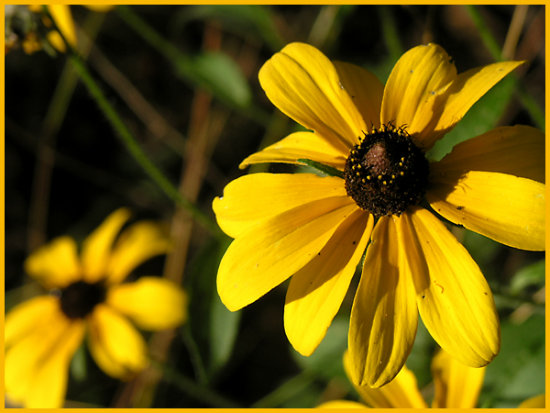 blackeyedsusan wildflower nature yellow