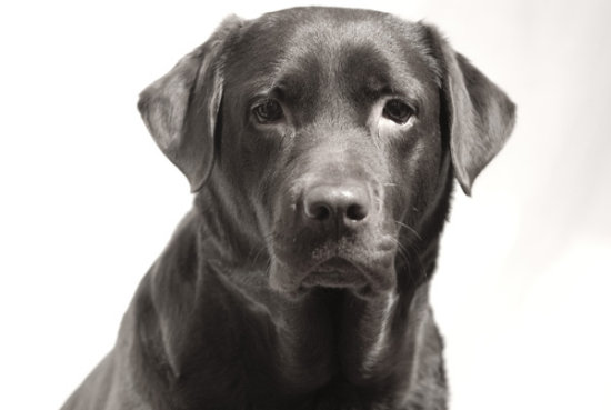 Dog animal labrador retriever brown chocolate black white lab