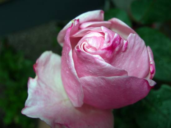 Same rosebud as before, photo was taken yesterday November 5th.